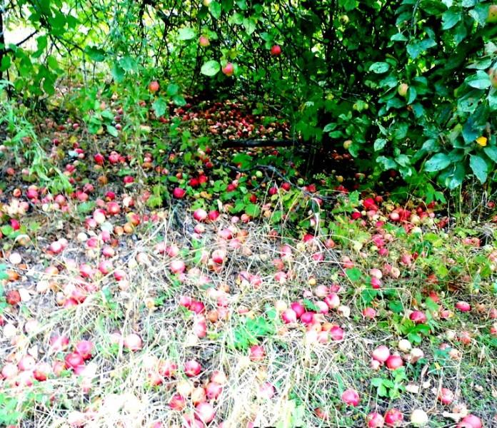 яблоки паданцы на участке